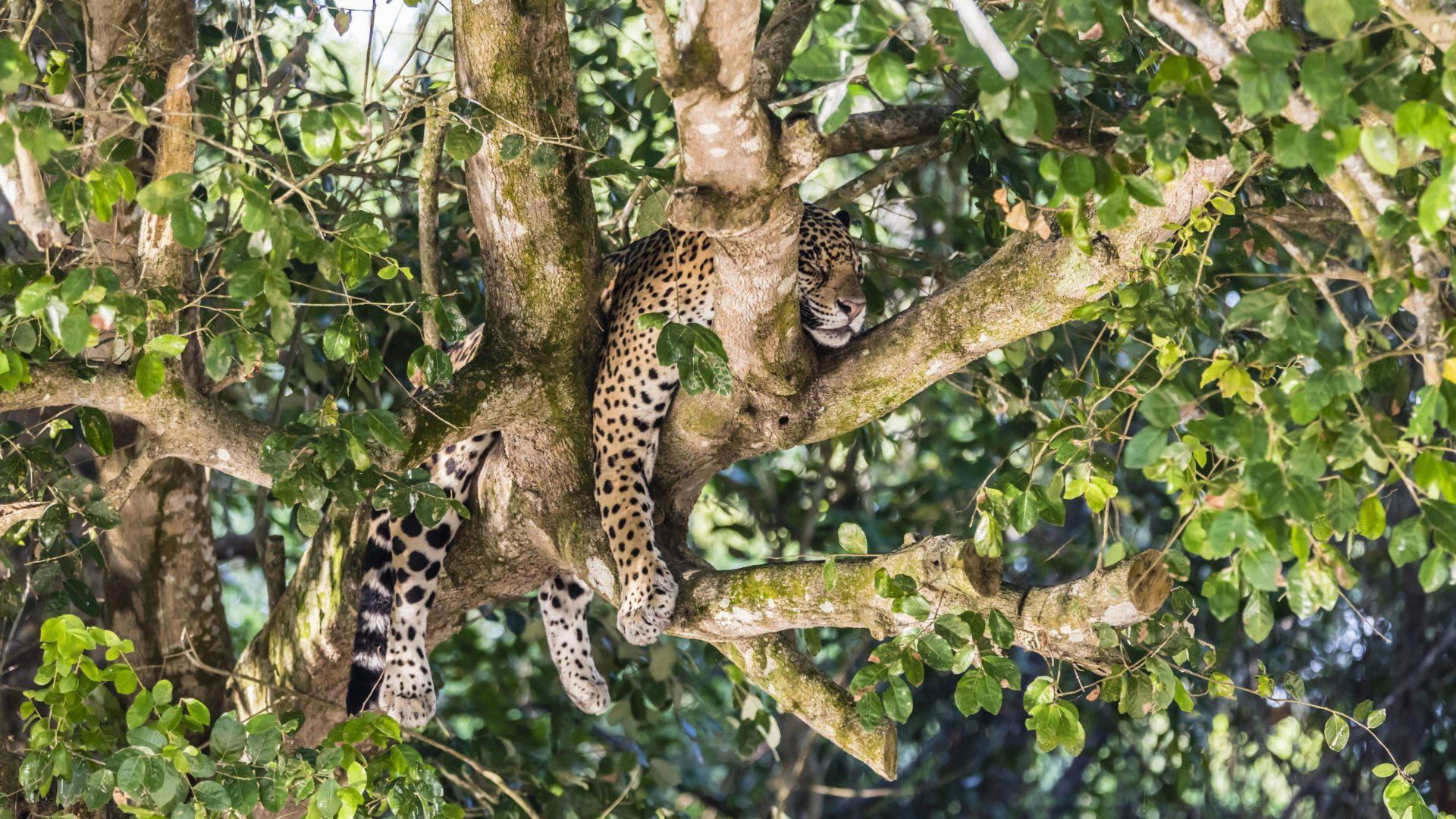 Wo schlafen Jaguare?
