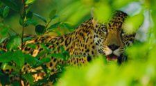 Jaguar lugt zwischen dichtem, grünem Blattwerk hervor.