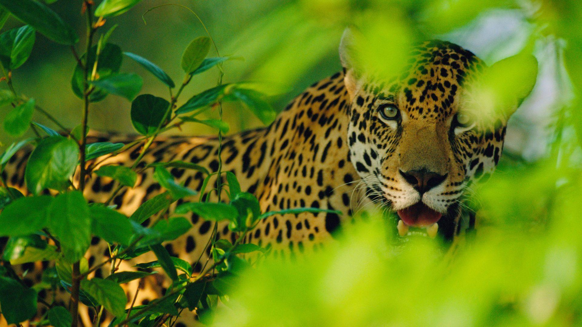 Warum sind Jaguare vom Aussterben bedroht? Und was ist das Besondere an ihnen?