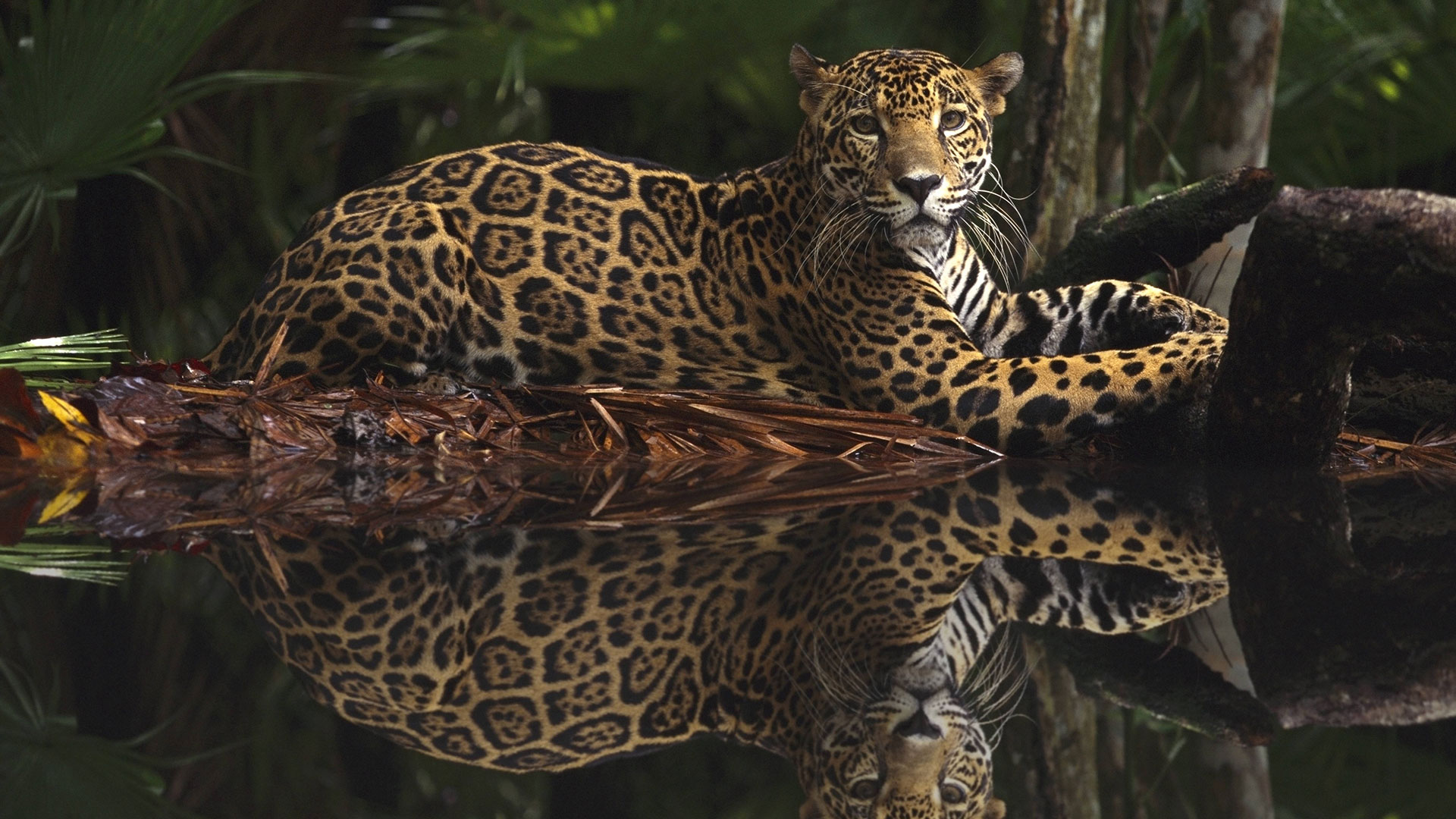 Wie viele Jaguare gibt es noch? Man kann nur grob schätzen.