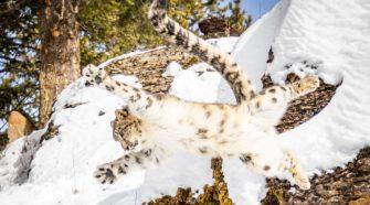 Wie leben, was fressen und wie jagen Schneeleoparden? Wieviele Schneeleoparden gibt es noch?